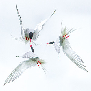 DANCE OF THE TERNS