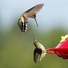 MOVE-B-2nd-Kathryn Saunders-Hummingbirds