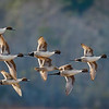 OPEN-A-HM-John German-Northern Pintails