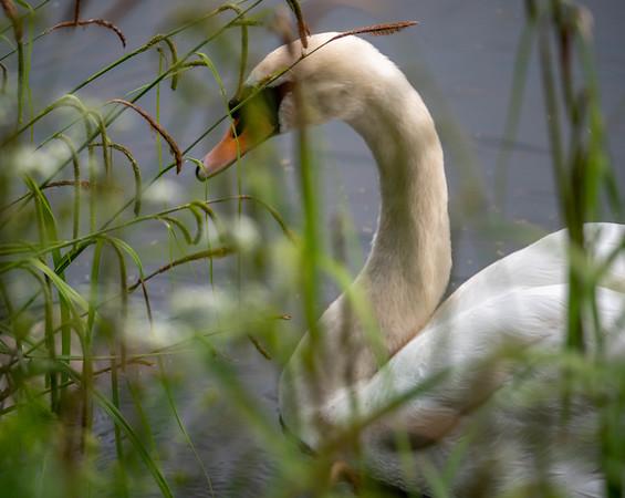 Pensive Swan