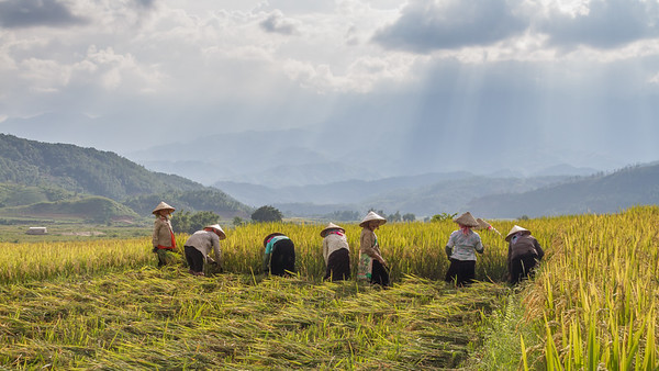 The Rice Workers