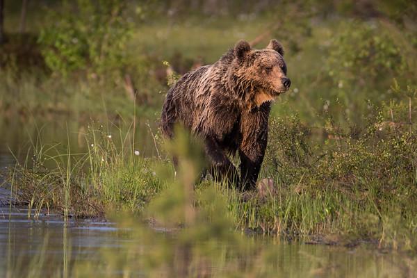 BROWN BEAR AFTER A DIP
