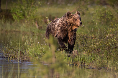 BROWN BEAR AFTER A DIP