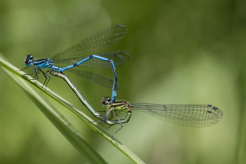 MATING COMON BLUE DAMSELFLIES