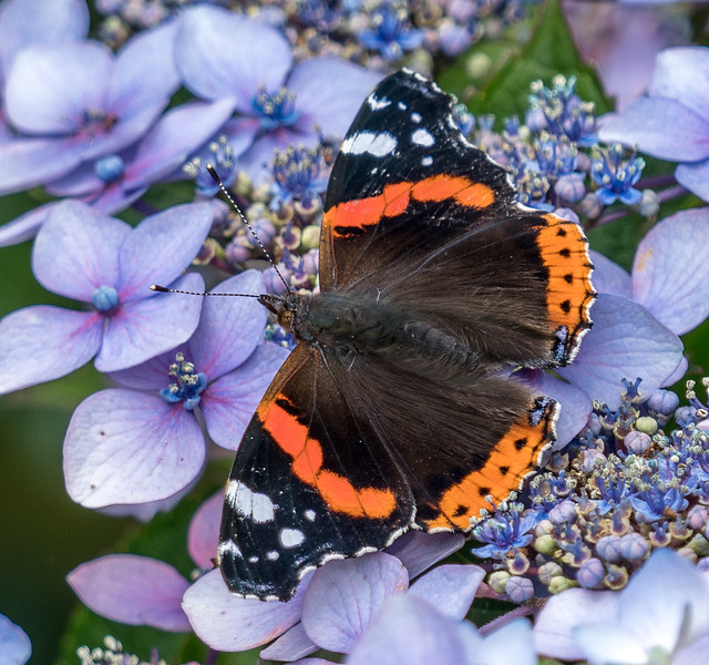 Red Admiral on hydrangea