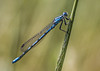 COMMOM BLUE DRAGONFLY