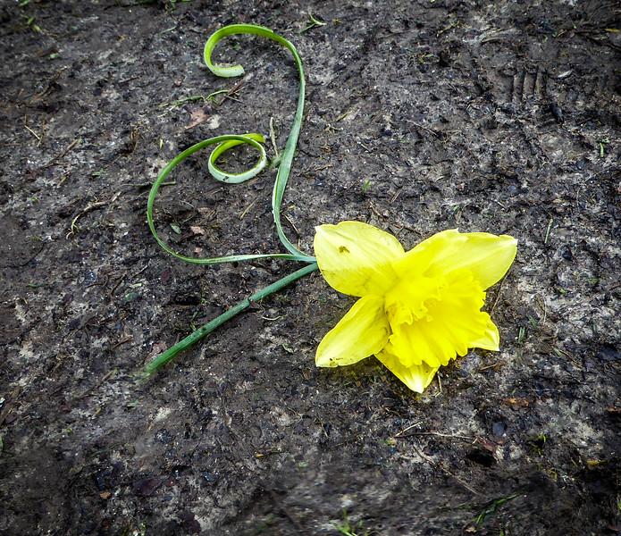 Discarded daffodil