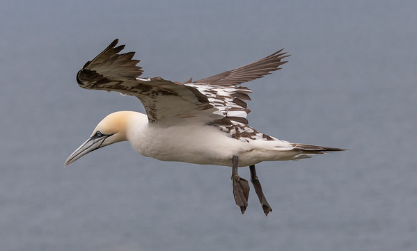 Young Gannet Preparing to Land