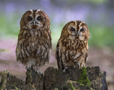 TAWNY OWLS IN BLUEBELL WOODS