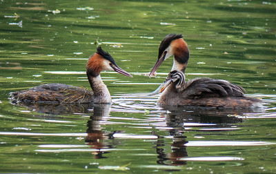 Lunchtime (Great Crested Grebe - Podiceps cristatus)