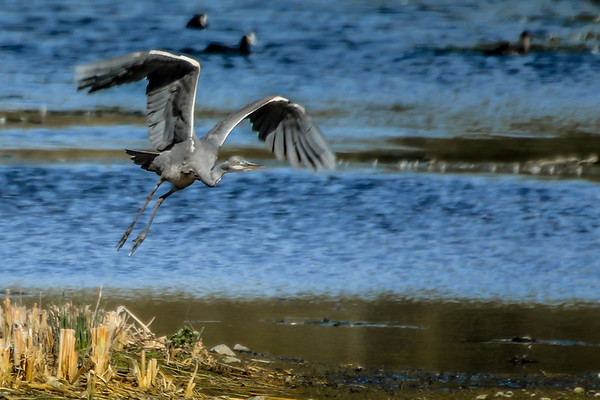 Grey Heron Taking Off