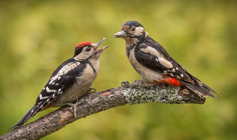 FEMALE GT SPOTTED WOODPECKER-FEEDING BABY