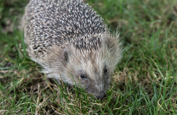 Prickly customer (Erinaceus europaeus)