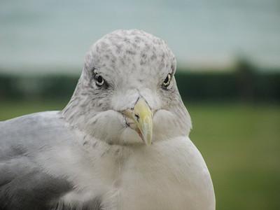 Grumpy herring gull