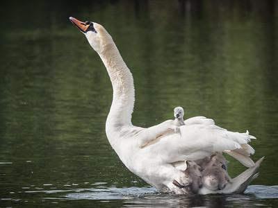 All aboard ! (Mute swan - Cygnus olor)
