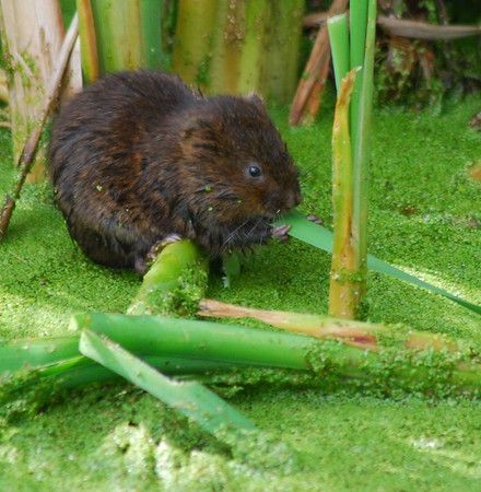 Vole - Rainham Marshes