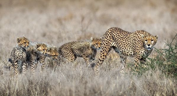 FIVE CHEETAHS KEEPING CLOSE