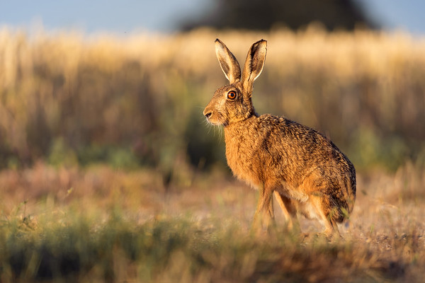 HARE AT THE EDGE OF A CORNFIELD