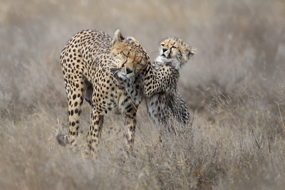 CHEETAHS IN GRASS