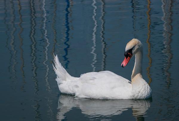 Harbour swan