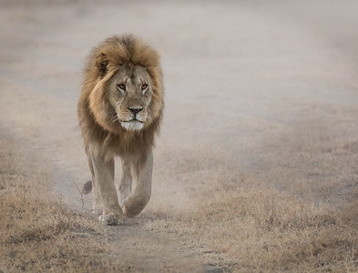 LION RETURNING TO HIS PRIDE