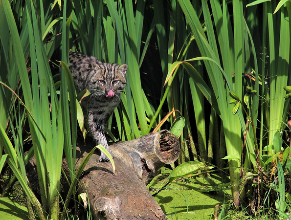 Wild Fishing Cat