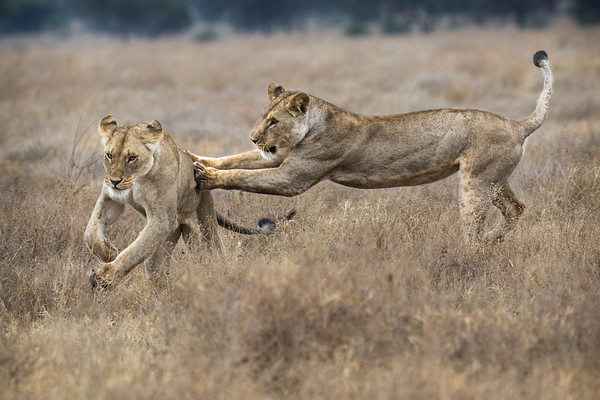 JUVENILE LIONS PLAYING
