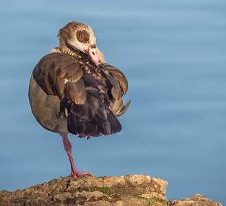 Egyptian goose, Grovelands