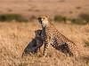 Masai Cheetah & Cub