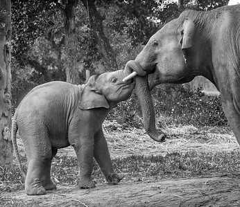 Asian Elephant with Baby Elephant