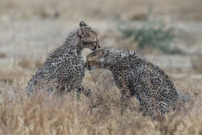 WET CHEETAH CUBS