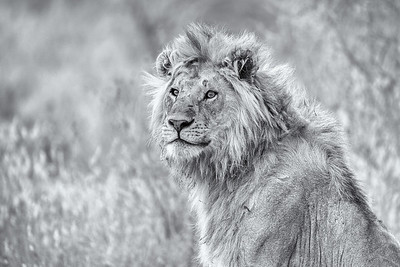 LION WATCHING