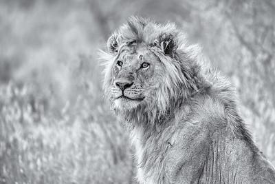 LION WATCHING