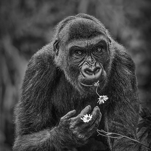 GORILLA WITH FLOWER