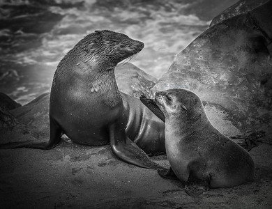 Cape Cross Seal & Her Pup