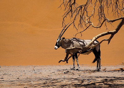 Oryx Taking Shade