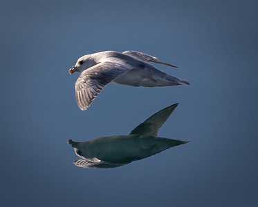 Reflection of Fulmar