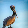 Wild-C-Lana Rebert-Brown Pelican