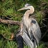 Wild-A-Jim Davis-Blue Heron