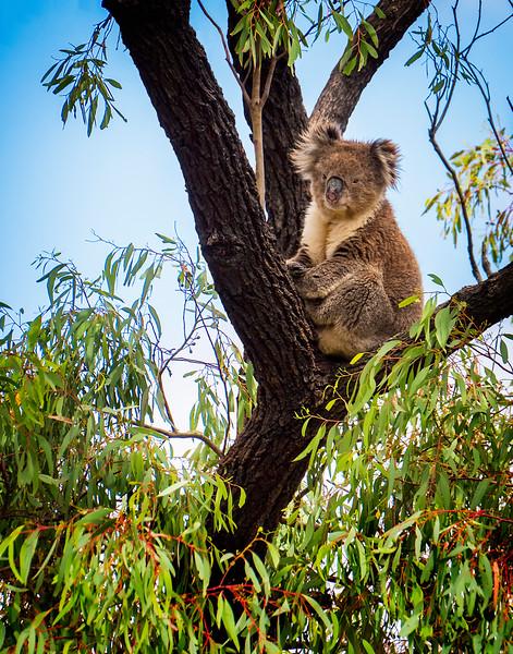 Wild-C-Tobé Saskor-Koala Viewing Us Far Below
