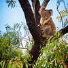 Wild-C-Tobé Saskor-Koala Viewing Us Far Below