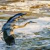Wild-A-Wendell Dance-BLue Heron-Jordan Lake Dam