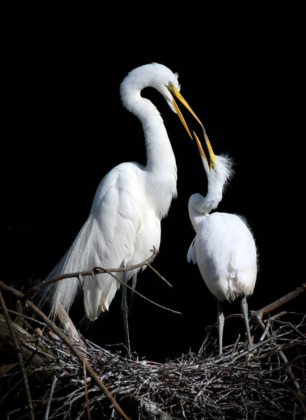 Wild-A-2nd-Jim Davis- Mom And Chick Talk