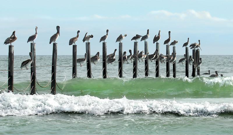Wild-A-Debra Regula-A Plethora of Pelicans