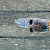 Wild-C-Nancy Brown-Busy As A Beaver