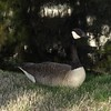 Wild-B- Robert Westrick-Goose Resting
