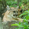 Wild-A-Dave Powers-Cougar At Rest