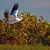 Wild-A-Bill Bower-American White Pelican