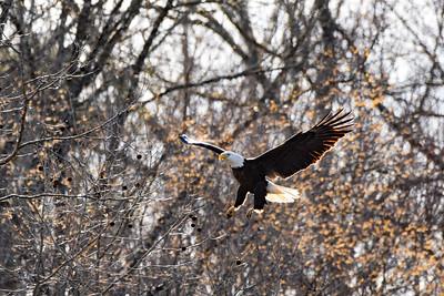 Wild-B-HM-Tom Batts-Eagle