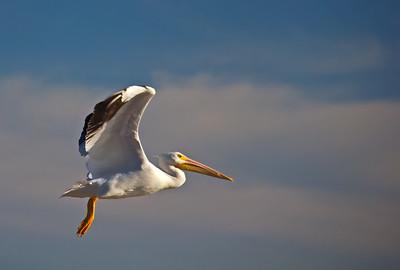 Wild-A-HM-Bill Bower-Pelican Power